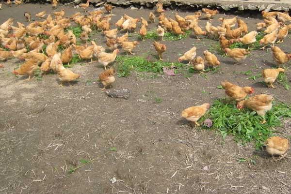林下土鸡养殖技术