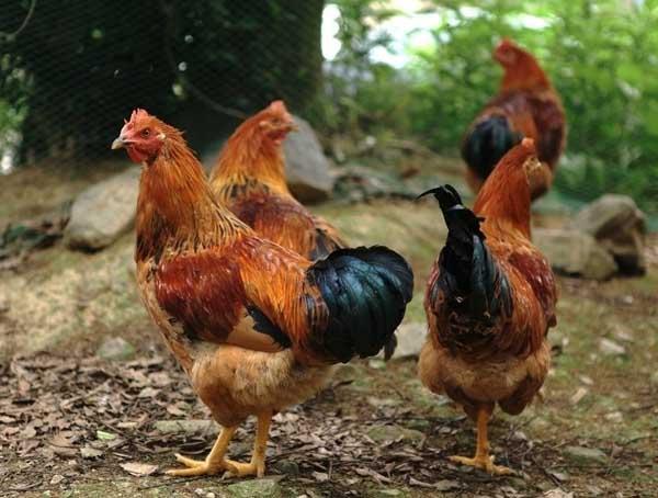 鸡包涵体肝炎防治方法