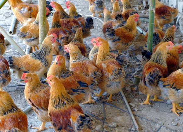 浅谈蛋鸡产蛋过早的危害