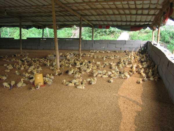 鸭病毒性肝炎的防治方法
