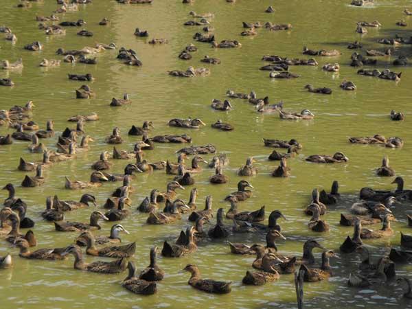 鸭的自然交配方法
