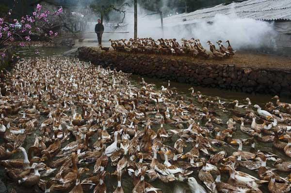 种鸭产蛋期饲喂管理技术