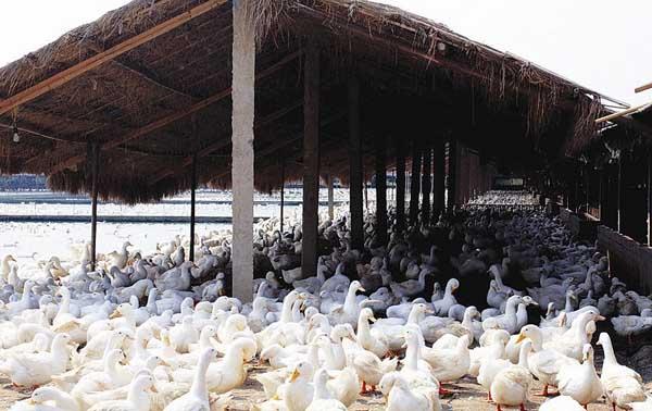 野鸭养殖场建设方案