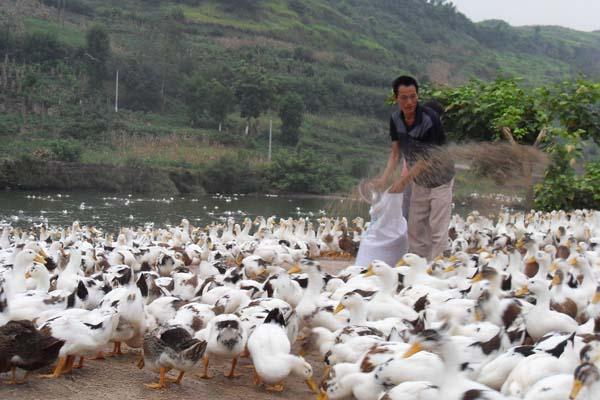 鸭养殖场鸭饲料的科学搭配方案