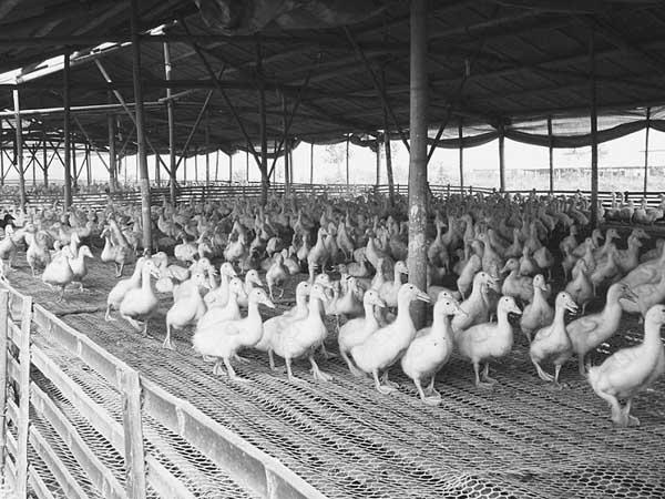 鸭子圈养管理技术