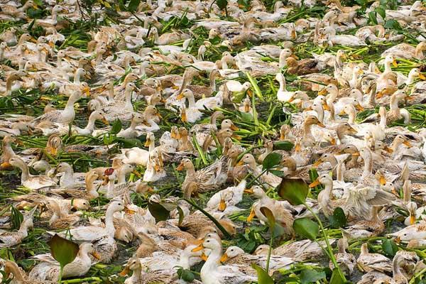 火鸭的养殖技术