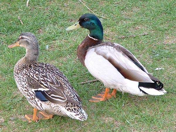 绿头野雏鸭的饲养管理