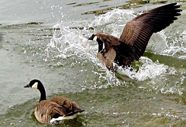 如何提高种鹅繁殖能力?