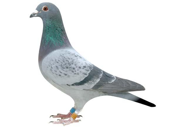 三招简单判别肉鸽的雄雌