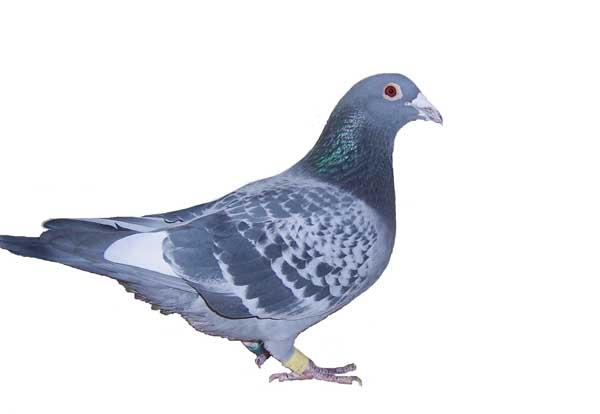 鸽子的年龄如何识别