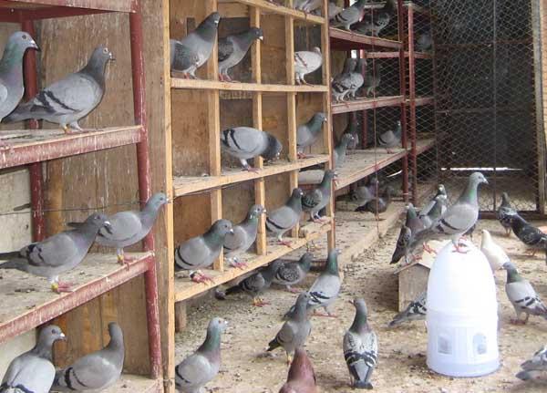 肉鸽在育雏期间的养殖管理技术