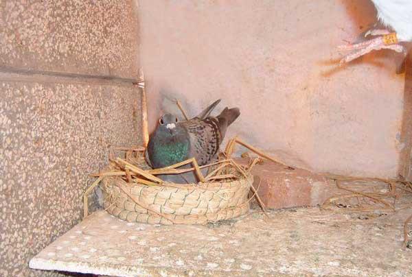 养殖肉鸽的孵化技术