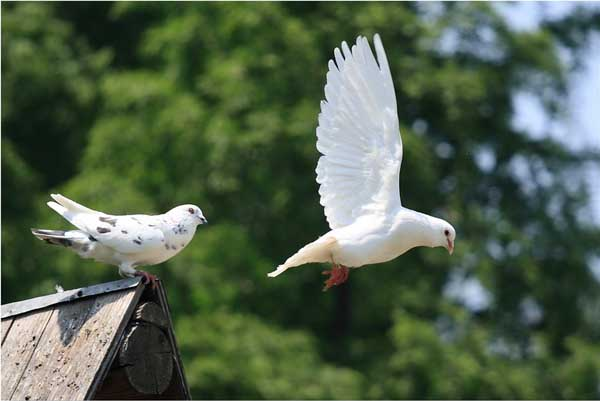 种鸽的饲养管理技术