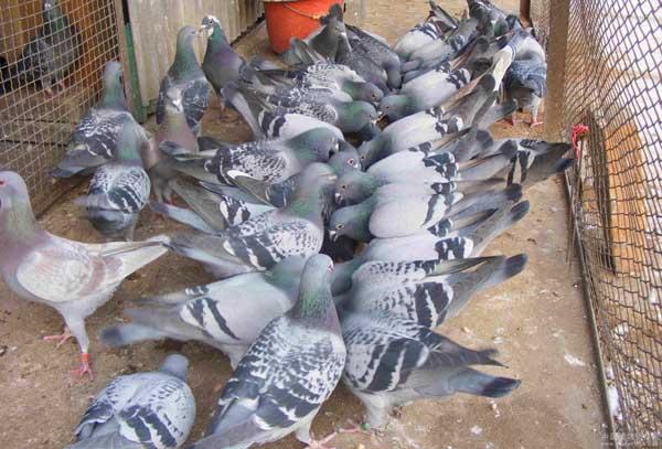 提高肉鸽繁殖率的方法