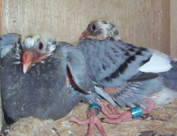 种用童鸽的管理措施