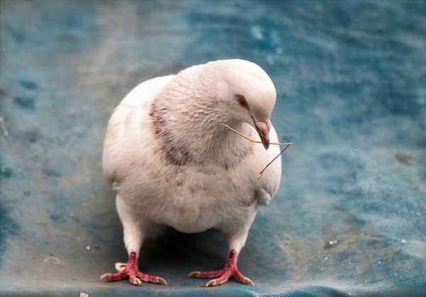 鸽子胚胎死亡率较高的原因