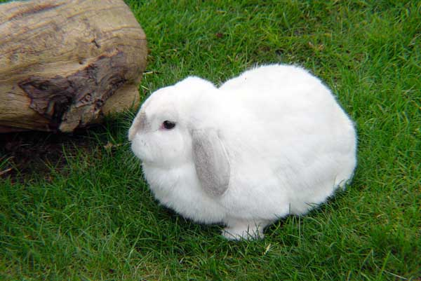 兔子耳痒病防治技术