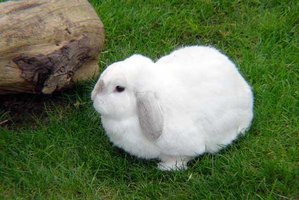 獭兔和家兔的习性区别
