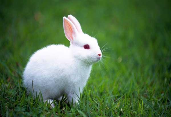 哺乳母兔饲养管理技术