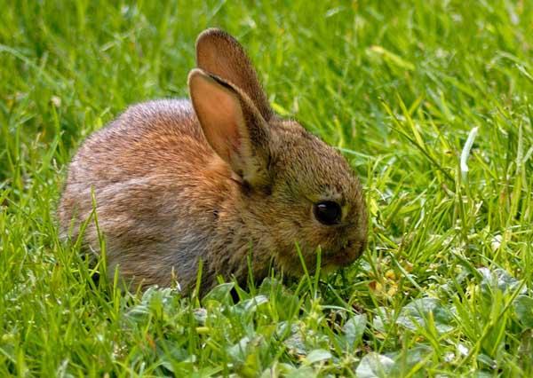 家兔选种育种技巧