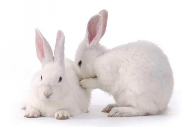 家兔如何提高生长速度?