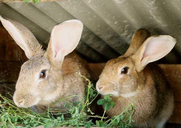 家兔真菌性脱毛的防治办法