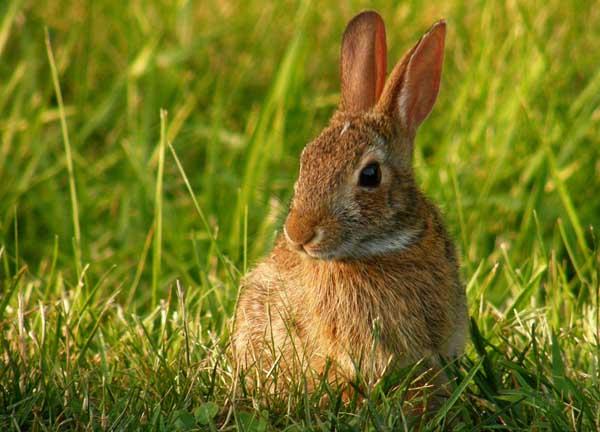 母兔不发情怎么办?