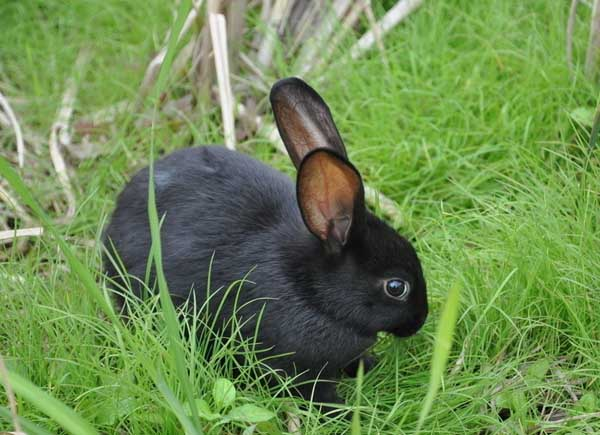 如何提高母兔受孕率?