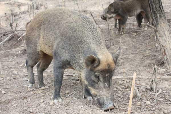 贵州野猪养殖场有哪些?