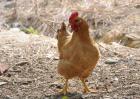 鸡饲料配制技术