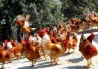 现代化养鸡场成本和设备