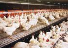 鸡传染性鼻炎治疗方法
