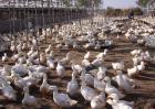 肉鸭养殖如何节省饲料?