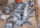 如何才能引进优良肉鸽品种?