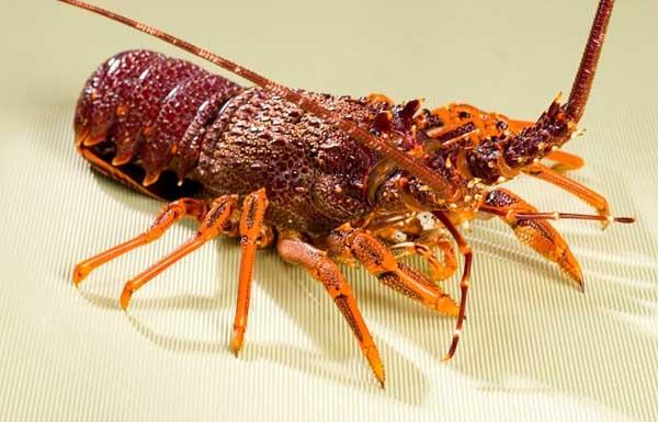 龙虾的生物特征