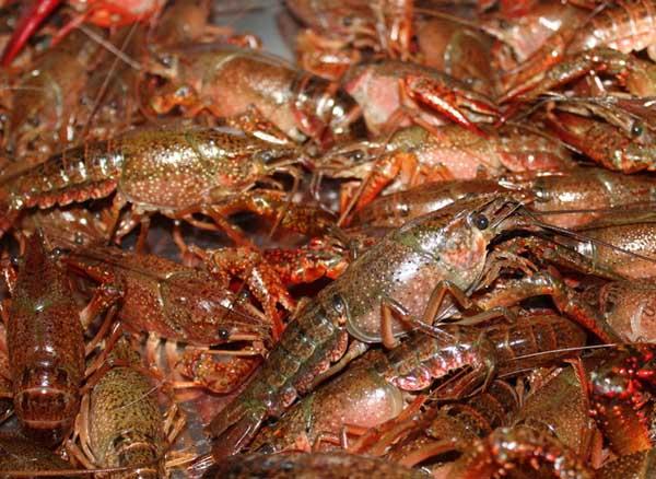 小龙虾病害防治技术