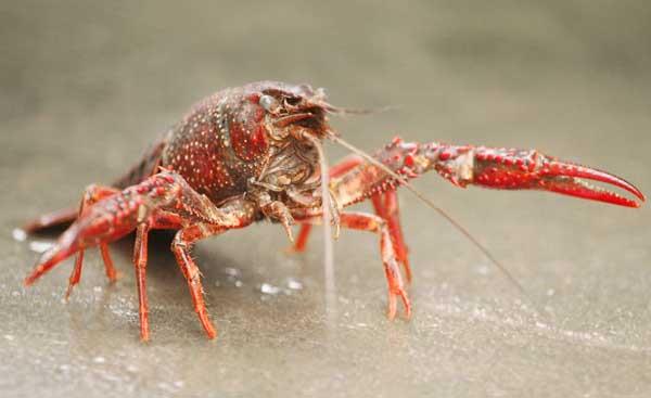 龙虾养殖的经济效益