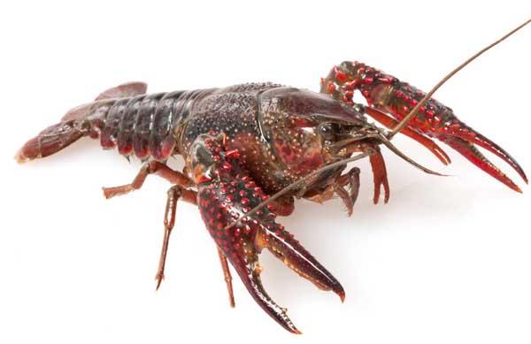 软壳龙虾养殖技术
