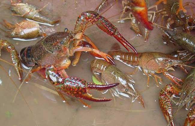 小龙虾吃什么食物?