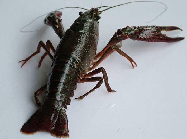 如何清除龙虾池杂物