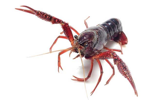 对虾养殖发病特征