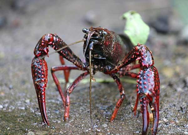 小龙虾产地在哪里?