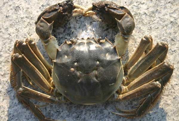 螃蟹养殖中螃蟹吃什么?
