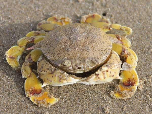 螃蟹聚缩虫病防治方法