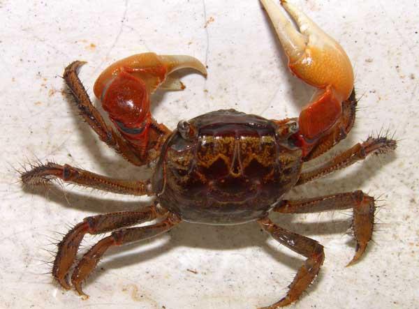 大闸蟹劣质蟹苗的辨别方法