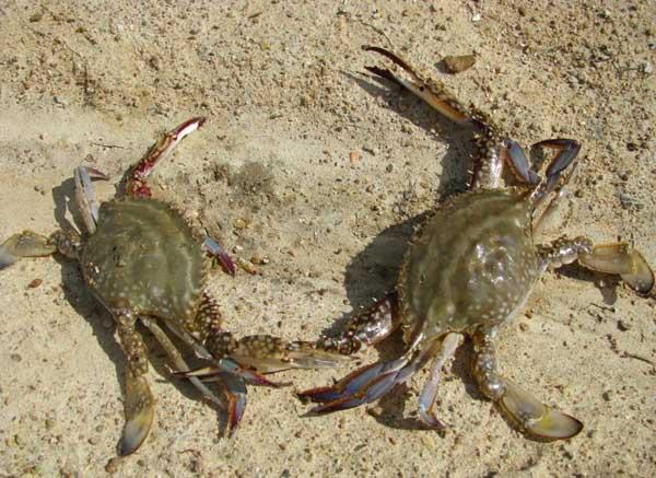 河沟围拦生态养殖大闸蟹技术