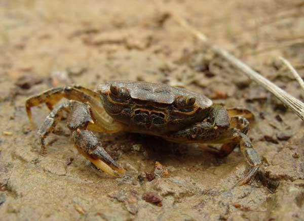 螃蟹养殖池中如何移植水草