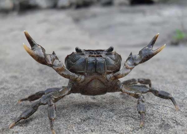 河蟹暂养的死亡原因