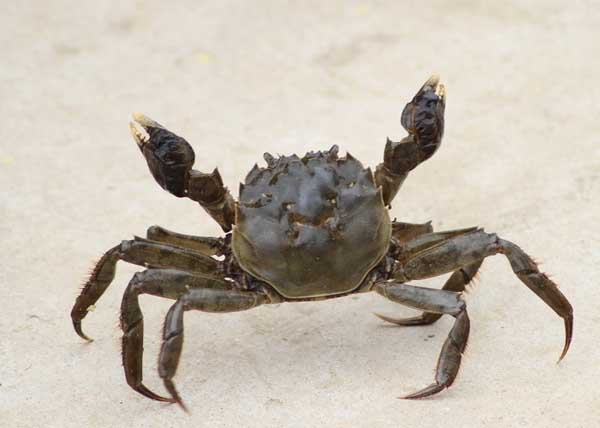 冬季河蟹病害防治技术
