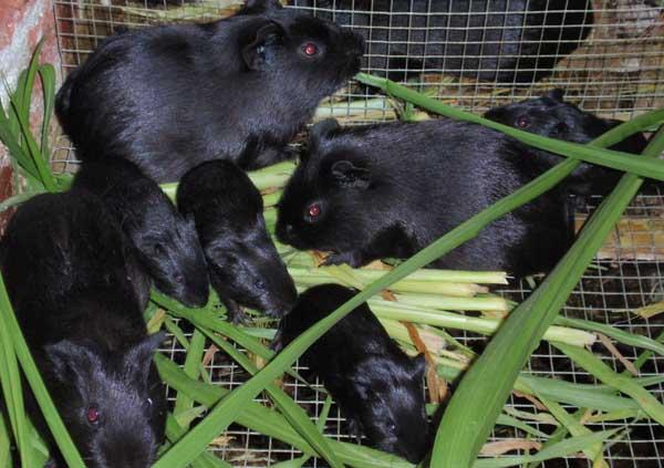 黑豚养殖的分栏饲养技术